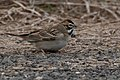 Lark Sparrow Fall Out 2 Sabine Woods TX 2018-04-09 11-50-49-2 (27636938678).jpg