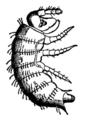 Larva of Strongylosoma Guerinii EB1911.png