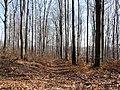 Las bukowy - panoramio (1).jpg