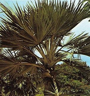 <i>Phoenicophorium</i> Genus of palms