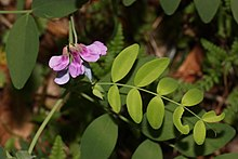 Lathyrus polyphyllus httpsuploadwikimediaorgwikipediacommonsthu
