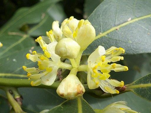 Laurus nobilis 20130409