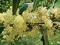 Laurus nobilis flowering branch 2.jpg