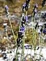 Lavandula angustifolia. Espliegu.jpg