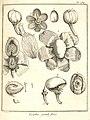 Lecythis grandiflora Aublet 1775 pl 284.jpg