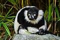Lemur (36040262153).jpg