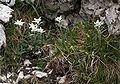 Leontopodium alpinum Italien Grödner Joch 821.jpg