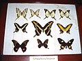 Lepidoptera collection 01653.jpg