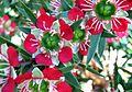Leptospermum spectabile.jpg