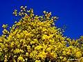 Les mimosas sont en fleurs à argelès - panoramio.jpg