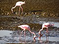 Lesser Flamingos1.JPG