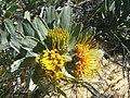 Leucospermum rodolentum Rebelo 2.jpg