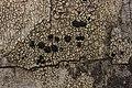 Lichen (29063749328).jpg