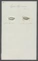 Ligia hypnorum - - Print - Iconographia Zoologica - Special Collections University of Amsterdam - UBAINV0274 098 08 0006.tif