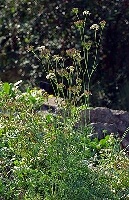 Alpen-Mutterwurz (Ligusticum mutellina)