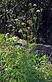 Ligusticum mutellina (aka).jpg