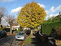 Lime tree, Windermere Road, Coulsdon - geograph.org.uk - 1052234.jpg