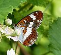 Limenitis camilla. White Admiral underwing - Flickr - gailhampshire.jpg