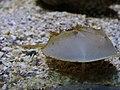 Limulus polyphemus.001 - Aquarium Finisterrae.JPG
