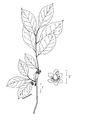 Lindera benzoin illustr.png