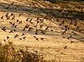 Linnet flock - geograph.org.uk - 1036055.jpg