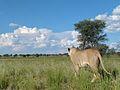 Lioness (Panthera leo) (6871733060).jpg