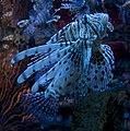 Lionfish (5730525394).jpg