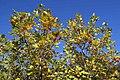 Liriodendron tulipifera 12zz.jpg