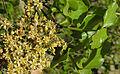 Lithraea caustica (8685472750).jpg