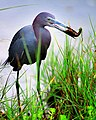 Little Blue Heron Fishing (28923987).jpeg