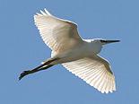 Little Egret (Egretta garzetta) (4).jpg