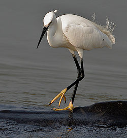meaning of egretta
