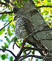 Little Sparrowhawk (Accipiter minullus) immature (33391987512).jpg