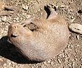 Ljubljana zoo - capybara2.jpg