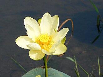 Lake Jackson (Tallahassee, Florida) - American lotus at Lake Jackson, Florida, August 2006