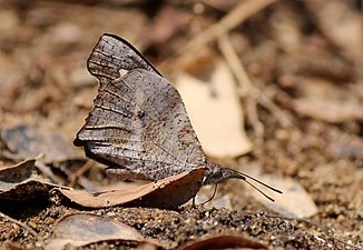 Lobed Beak Butterfly mudpuddling in Chinnar WLS Kerala (3).jpg