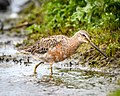 Long-billed Dowitcher (transitional plumage) (41430341532).jpg