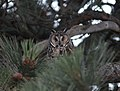 Long-eared Owl, Columbia Falls, MT, July 4, 2012 (7502001324).jpg
