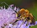 Long-horned Bee (Eucera sp.) male (14405236336).jpg