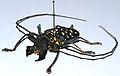 Longhorn Beetle (Stellognatha maculata) (8436639284).jpg