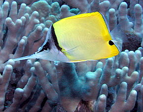 Description de l'image Longnose Butterflyfish.jpg.