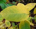 Lonicera caerulea 1.jpg
