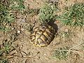 Loptica - tortoise - P1100431.JPG