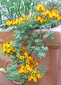 Lotus berthelotii 2.JPG
