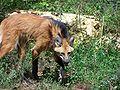 Loup à crinière calviac.JPG