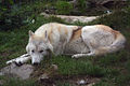 Loup du Canada (Canis lupus mackenzii) 1.JPG