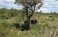 Loxodonta africana 2.jpg