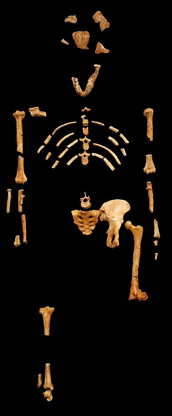 Lucy, an Australopithecus afarensis skeleton discovered 24 November 1974 in the Awash Valley of Ethiopia's Afar Depression Lucy blackbg.jpg