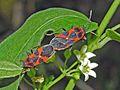 Lygaeidae - Tropidothorax leucopterus (mating).JPG