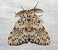 Lymantria monacha02.jpg